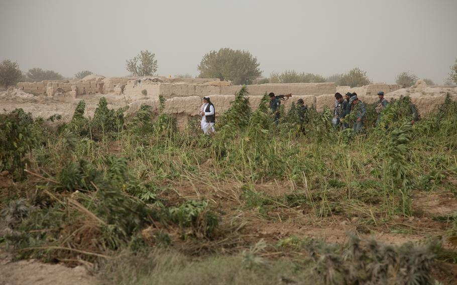 Niaz Mohammad Sarhadi, district governor, Zharay district, oversees the eradication of a marijuana field, Zharay district, Kandahar province, Afghanistan in this Oct. 2011 photo.