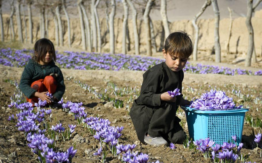 Two Afghan children harvest saffron flowers in a field in Guzara district of Herat province in western Afghanistan, near where an Afghan government airstrike killed at least eight, including civilians, on July 22, 2020.