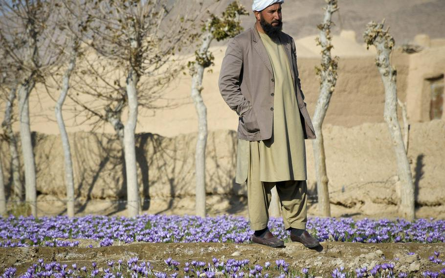 An Afghan farmer stands in a saffron field in Guzara district of Herat province in western Afghanistan, near where an Afghan government airstrike killed at least eight, including some civilians, on July 22, 2020.