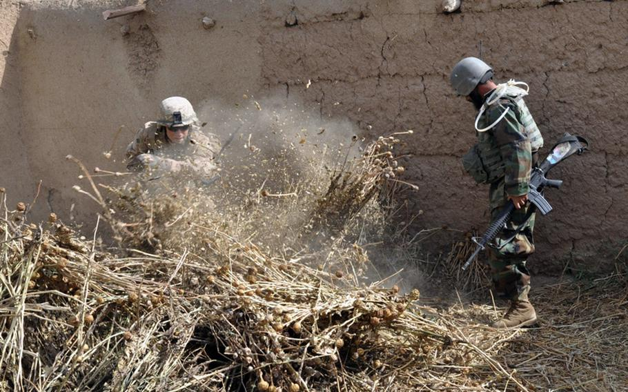 A U.S. Marine and an Afghan National Army soldier check for bombmaking materials beneath a bushel of dried poppy during a compound search in Marjah District of Helmand Province on June 25.