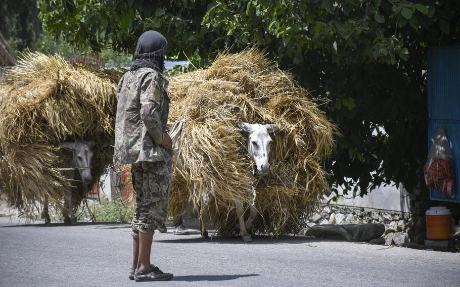 A farmer herds donkeys laden with hay along on a road leading to Baharak, Afghanistan, on July 14, 2019. Baharak is in Badakhshan province, which never fell to the Taliban when they ruled Afghanistan in the 1990s, but where several districts have fallen to or are under threat from the militant group.