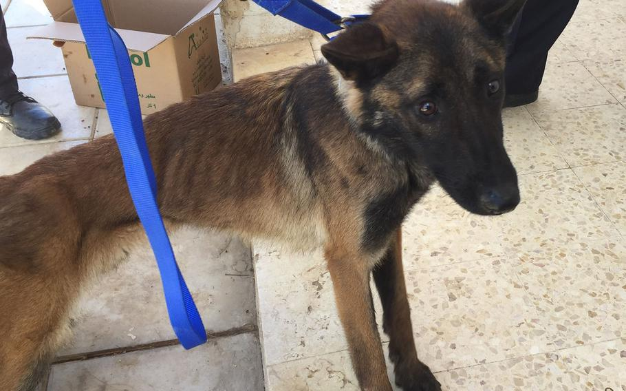 Athena, a U.S.-trained bomb-sniffing dog provided to Jordan, is pictured in a photo from April 2018 when a State Department contracted veterinary team found the 2-year-old Belgian Malinois severely emaciated.