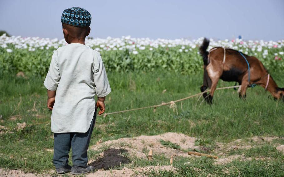 A young Afghan boy tends to a goat near a poppy field in Afghanistan's Kandahar province in April 2019. The Afghan War remains the world's deadliest conflict for children, according to a United Nations report.