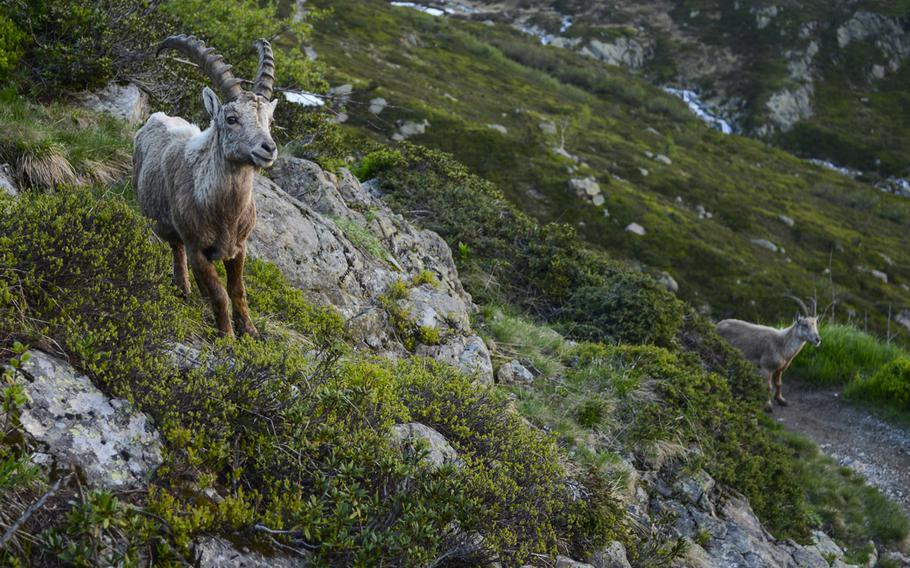 Two alpine Ibex guard the mountain trails above the Chamonix Valley, France.