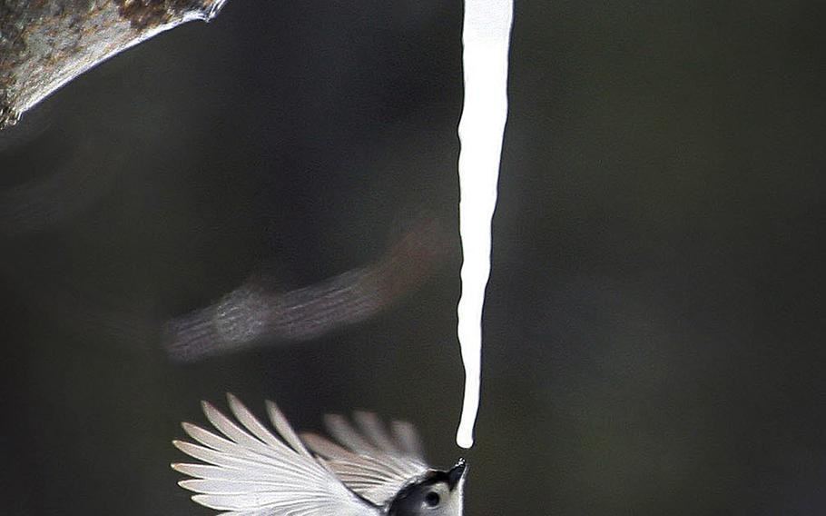 A tufted titmouse drinks maple sap dripping from an icicle that formed on a broken limb of a maple tree in Marshfield, Mass., on March 22, 2015.