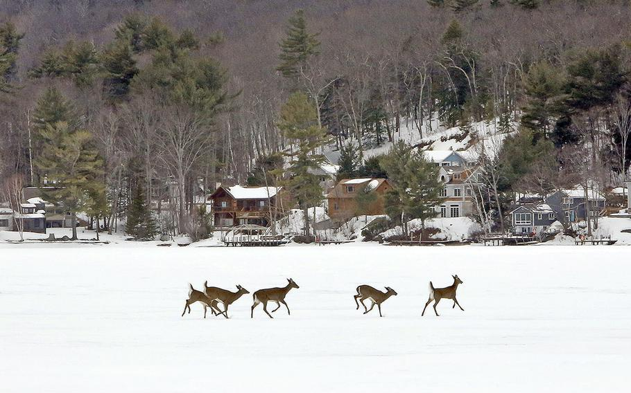 A small herd of deer run across the frozen Lake Winnipesaukee as they frolic on the first full day of spring on March 21, 2015, in Alton, N.H.