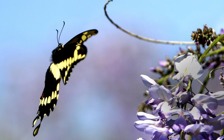 A Swallowtail butterfly prepares to land on some wisteria in Spring, Texas, on March 23, 2015. Temperatures were near 80 in the Houston area.