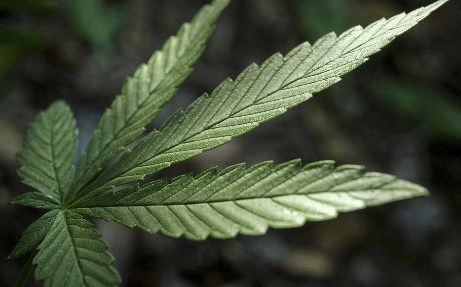 A marijuana plant is shown in this undated file photo.