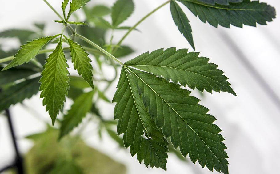 A marijuana plant growing in at a cultivation business in Adelanto, Calif.