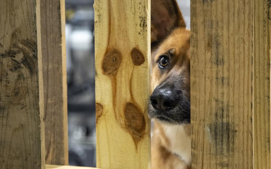 A dog peeks out from its crate at the pet-friendly Wallace Creek Fitness Center shelter which was set up in advance of Hurricane Dorian at Marine Corps Base Camp Lejeune, Sept. 5, 2019.