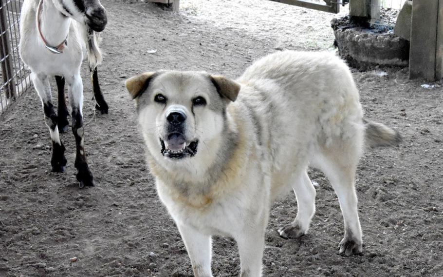 Geronimo Jack, an Anatolian Shepherd, watches over the Boer goats at the Joint Readiness Training Center and Fort Polk's farm.