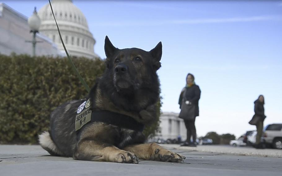 Axel, a retired law-enforcement dog, sits in front of the Capitol in Washington on Thursday, Nov. 14, 2019, prior to the start of a briefing hosted by Rep. Ron Wright, R-Texas, who announced the the K-9 Hero Act.
