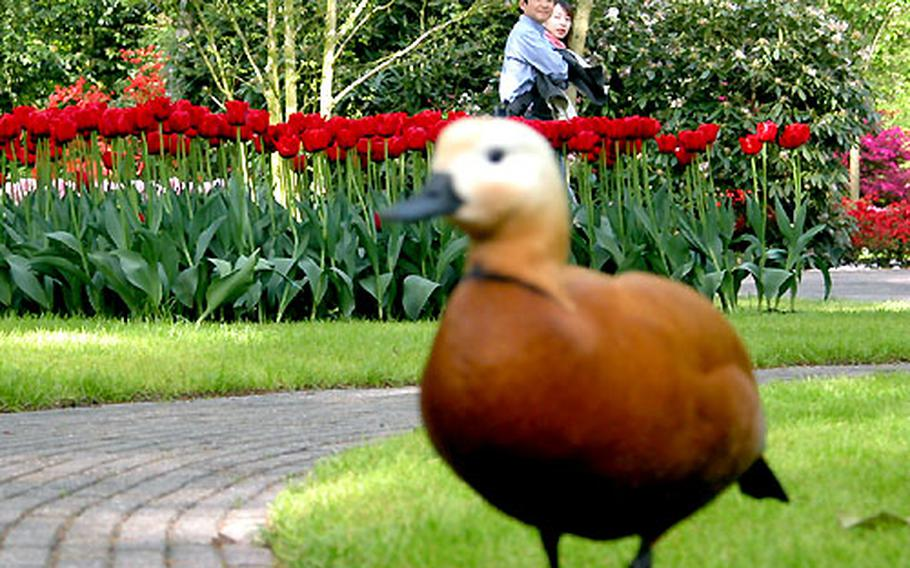 Tourists eye one of the tulip patches at Keukenhof, southwest of Amsterdam, and one of the gardens' feathered residents