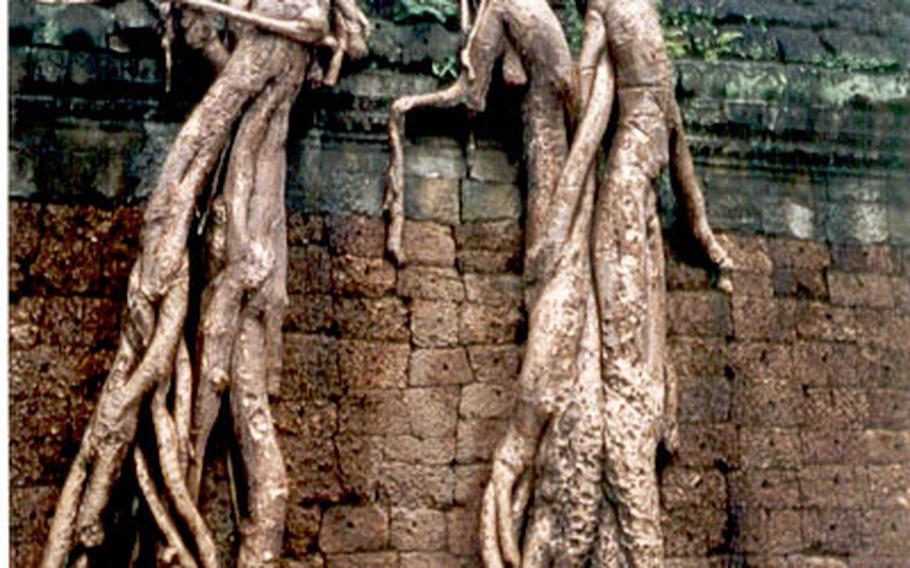 Trees with roots like muscular worms grow atop walls at the Angkor temples.