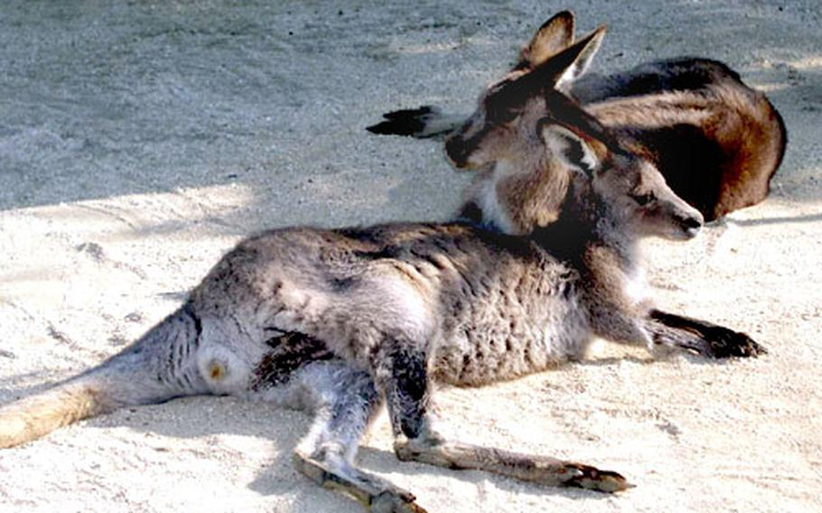 The zoo is home to more than 1,300 mammals, birds, fish and reptiles — like these resting kangaroos.