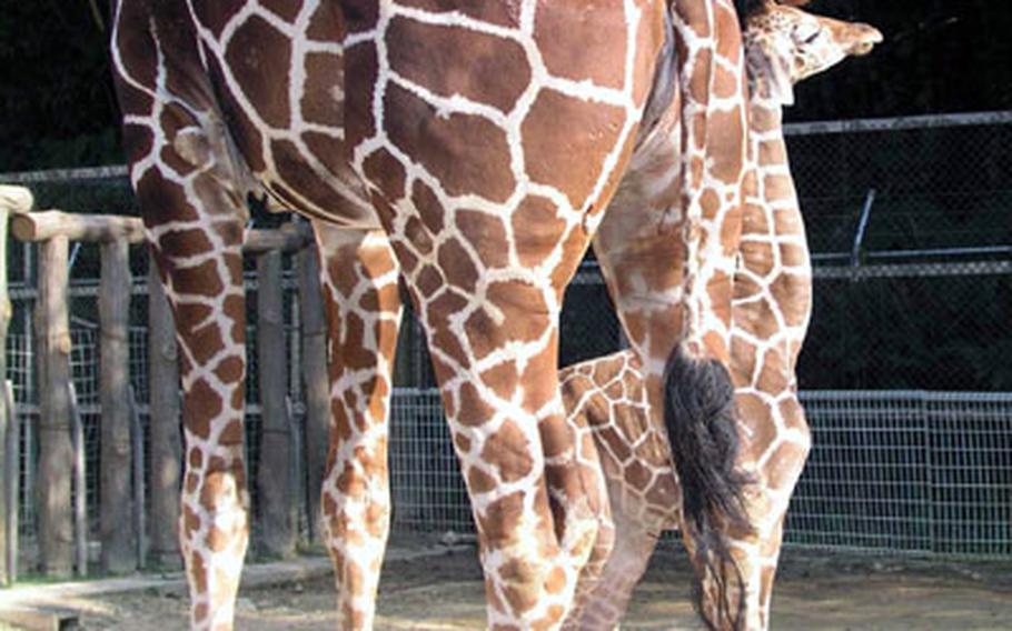 "Mother giraffe Takako gently ""talks"" to her baby, born February 9, 2004. Takako, 24, was also born in the zoo."