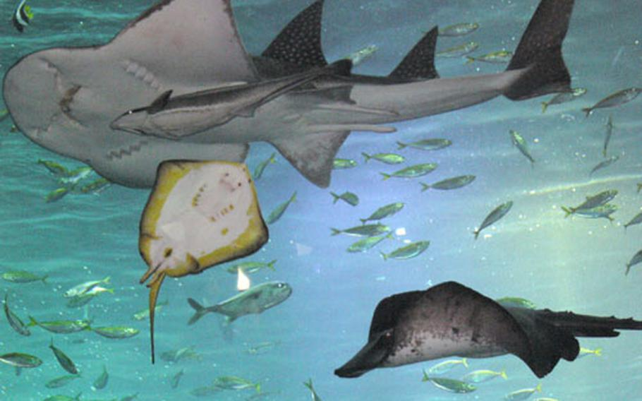 The ray is popular for its size and its monsterish appearance. The new Enoshima Aquarium was opened on April 16 near the old aquarium.