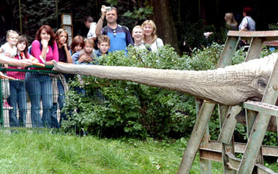 An elephant does its best to secure a tasty carrot at the Opel Zoo in Krönberg, Germany.