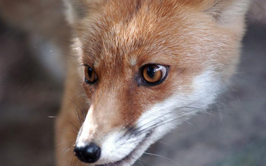 A fox warily watches a visitor offer some food.