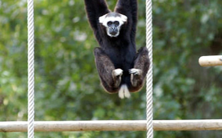 A gibbon hangs around, checking out visitors.