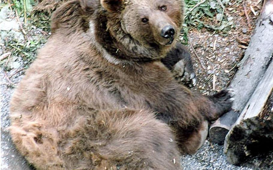 A Bern bear casts a sorry glance at visitors from the bottom of the Bear Pit. The animals are the city symbol, and the source of its name.