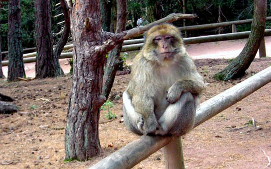 Both visitors and inhabitants of La Montagne des Singes — Monkey Mountain — are free to roam part of the grounds of the reserve and interact. This monkey, one of 280 at the reserve, greets visitors near the entrance, hoping for a handout.