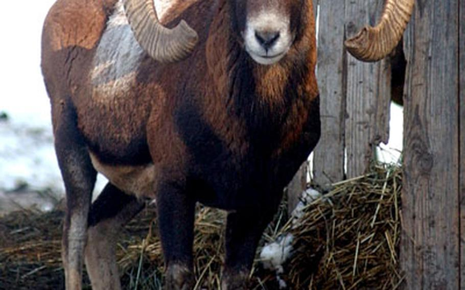 A mouflon with large curved horns watches a visitor to the Hochwildschutzpark in Rheinböllen, Germany.