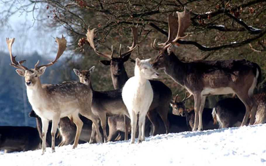 A herd of roedeer roam free around the big game protection park, but they are timid.