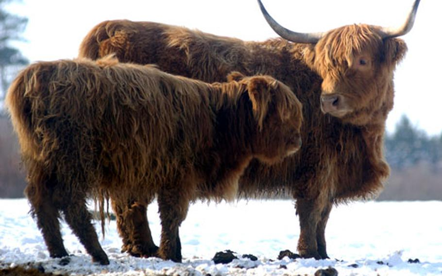 Two shaggy-haired highland cattle hang out at the Hochwildschutzpark.