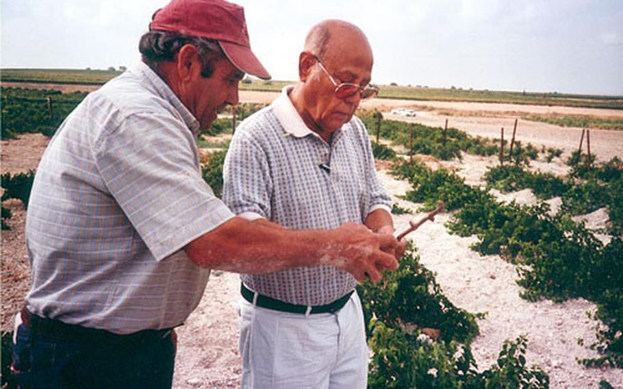 Henry Marquz, right, watches as a Spanish master grafter shows him where to cut the grape cane for its bud to be grafted onto the root plants behind them. The roots, imported from the States, are resistant to pests and rot. A bud is grafted onto the plant to produce grapes.