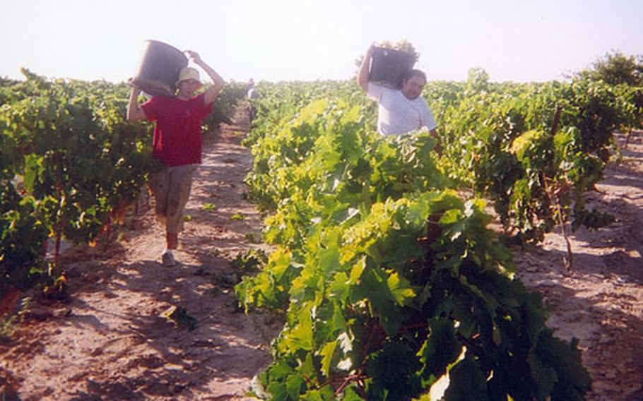 Spanish workers carry baskets full of grapes to a waiting trailer. The baskets weigh around 35 pounds each.