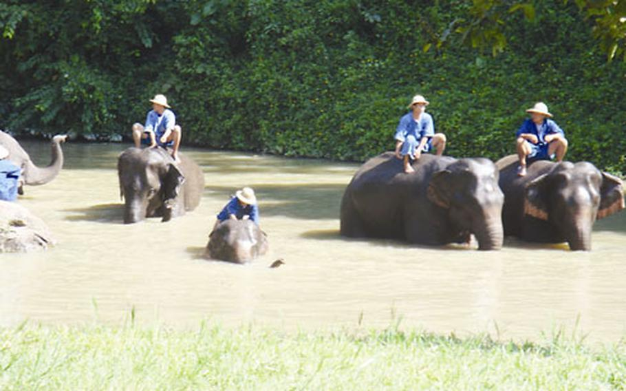 Elephants bathe in a creek on a 90-degree November afternoon at the National Elephant Institute.