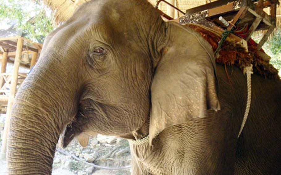 An elephant waits for a rider inside a pavilion at the National Elephant Institute.