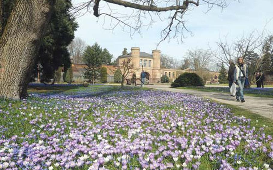 A sea of crocuses bloom in the botanical garden in Kalsruhe, Germany. In the background are the garden's hothouses.