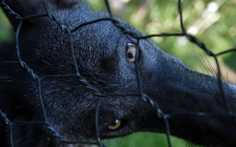A timber wolf cocks his head behind the fence in his enclosure at Wolfspark Werner Freund in Merzig, Germany.