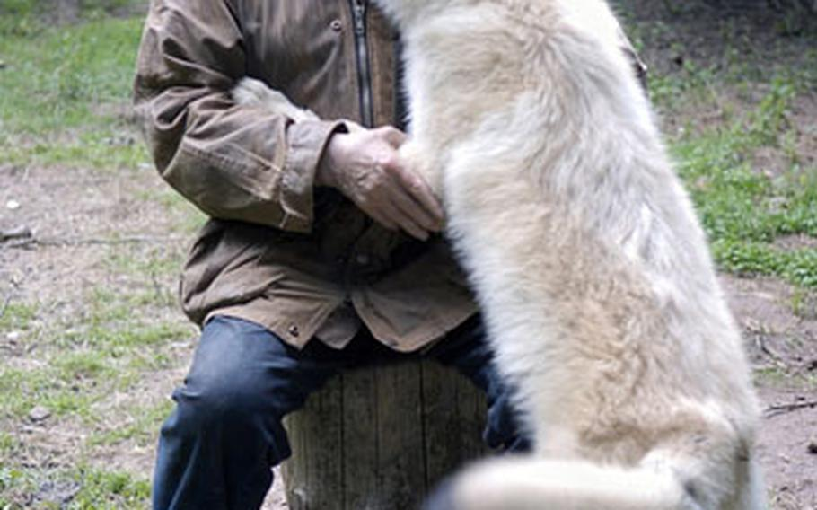 In a sign of submission, an Arctic wolf pup licks German wolf researcher Werner Freund on the face while Freund visits with the animal in its enclosure at Wolfspark Werner Freund in Merzig, Germany.