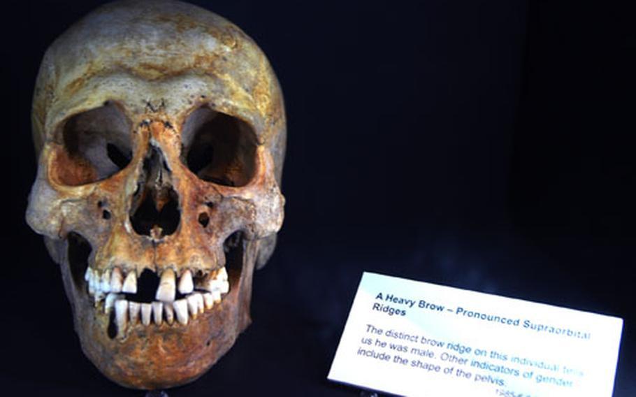 A Viking man's skull is on display at the Jorvik Viking Center.
