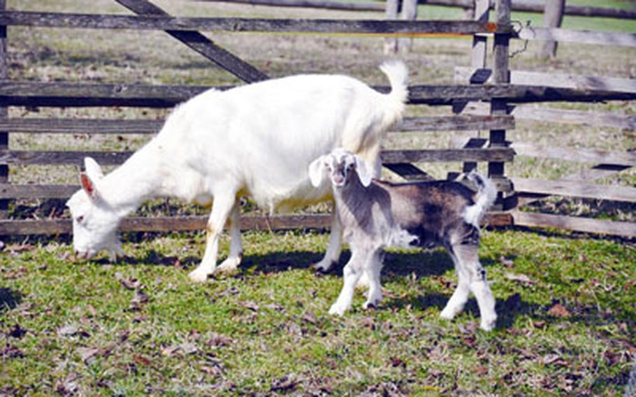 Goats are among the many farm animals scattered throughout the approximately 100 acres of farmland at the Franconian Open Air Museum in Bad Windsheim, Germany.