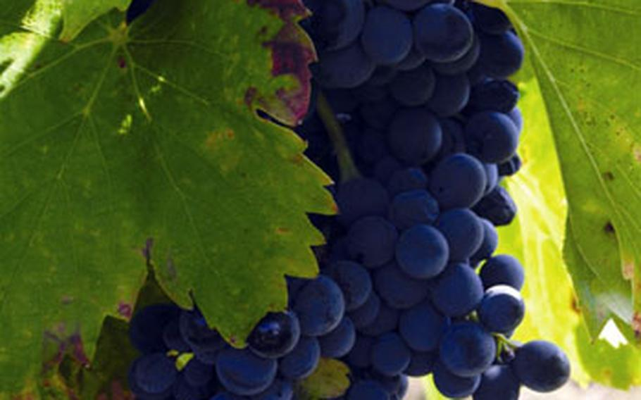 Côtes du Rhône grapes are seen on the vine. The southern part of the wine-producing region grows a variety of grapes for red wines, including Grenache, Syrah, Mourvèdre and Cinsault.