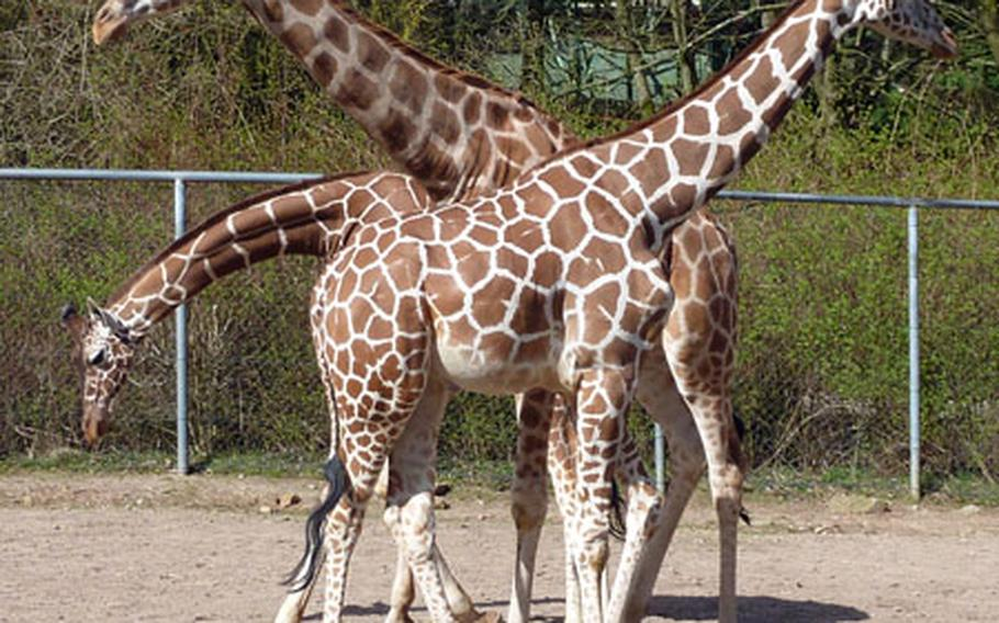 The giraffes at the Neunkirchen zoo pose for a group photo.