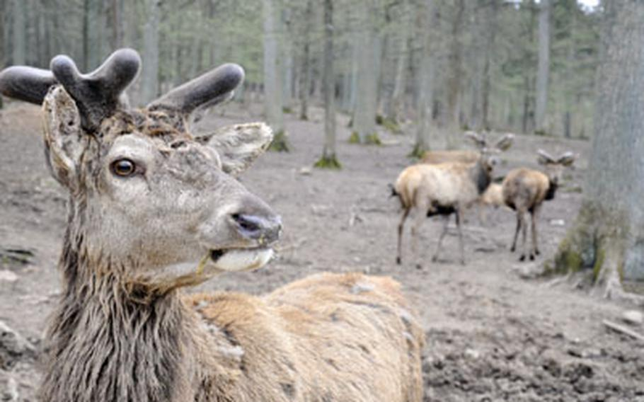 A deer inspects some intruders in the deer section of the Wild Park Schloss Tambach in Tambach, Germany. The park features an open area that allows visitors to walk among some of the park's 250 animals and a hunting and fishing museum inside its castle.