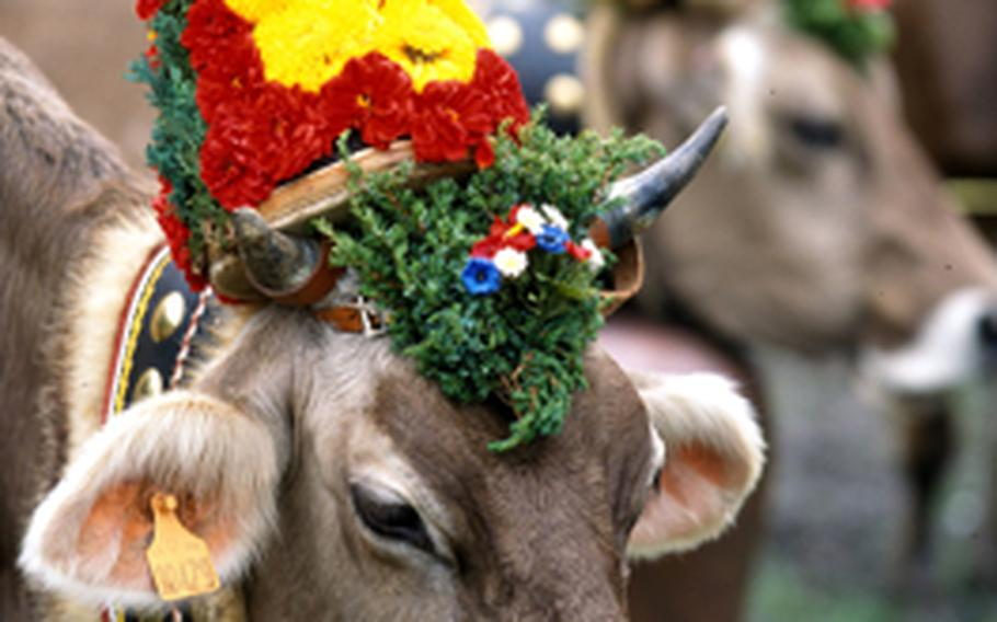 A cow decorated for the annual fall procession from the alpine pastures back to their winter homes in the valley wears a colorful garland and her very own bell. The bells, many handmade, have a distinctive sound so the cow's owner can keep track of her.