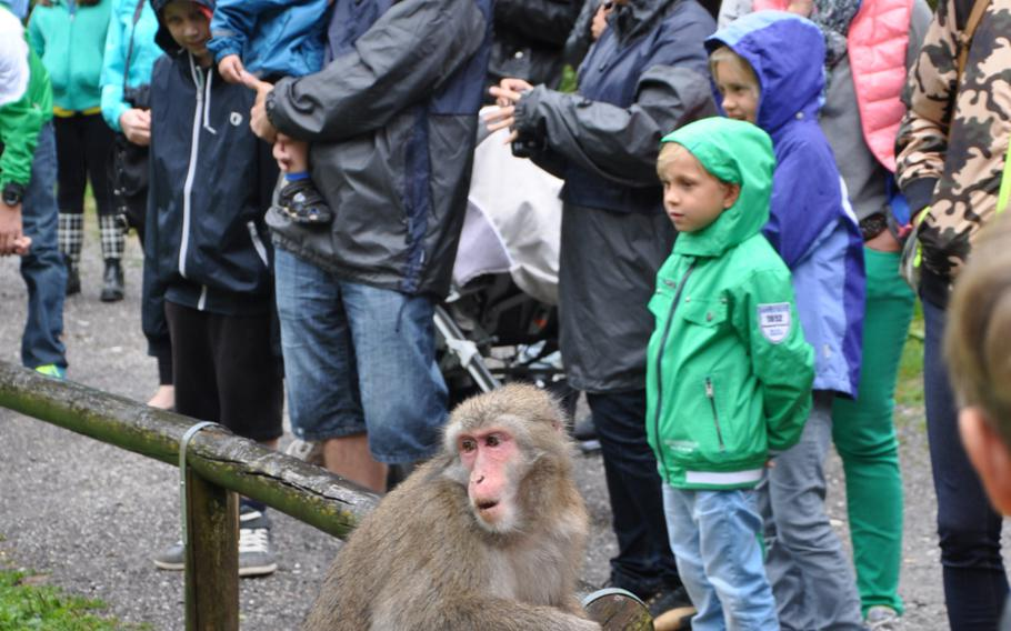One of the inhabitants of Adventure Monkey Mountain in Villach, Austria, is curious to see what everyone is looking at during a tour of the nine-acre habitat on Aug. 20, 2013.
