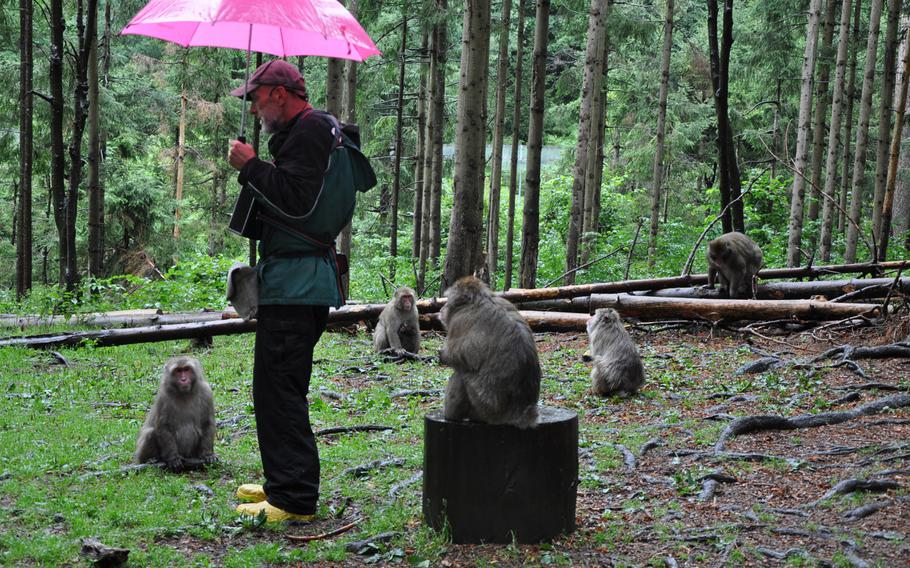 Japanese macaques gather around a tour guide at Adventure Monkey Mountain, home to 145 of the primates.