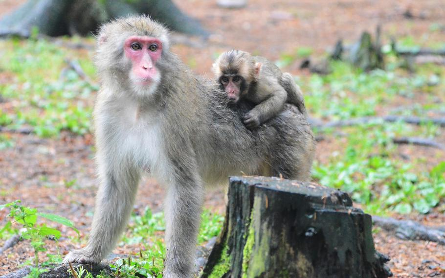 One of six infant Japanese macaques born this year at Adventure Monkey Mountain in Villach, Austria, rides on its mother's back. Adventure Monkey Mountain is home to 145 Japanese macaques that roam freely in a nine-acre habitat.
