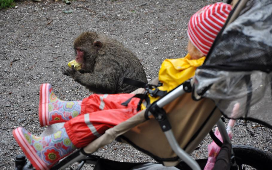 A child watches a Japanese macaque munch on an apple at Adventure Monkey Mountain in Villach, Austria, on Aug. 20, 2013.