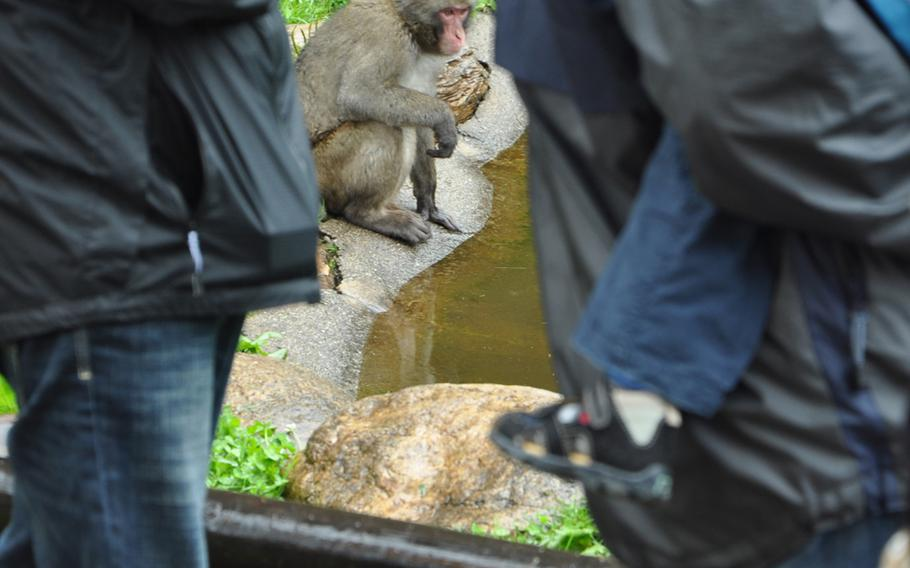 A Japanese macaque sits a few feet from visitors at Adventure Monkey Mountain in Villach, Austria.