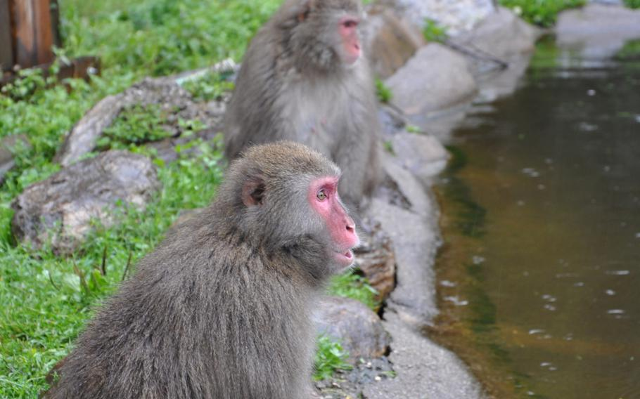 Two Japanese macaques sit by a pond and watch fellow macaques swim on the nine-acre habitat.