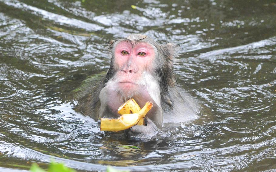 It's a photogenic moment at Adventure Monkey Mountain when a Japanese macaque takes a swim while eating a banana. The nine-acre habitat, in Villach, Austria, is home to 145 Japanese macaques.