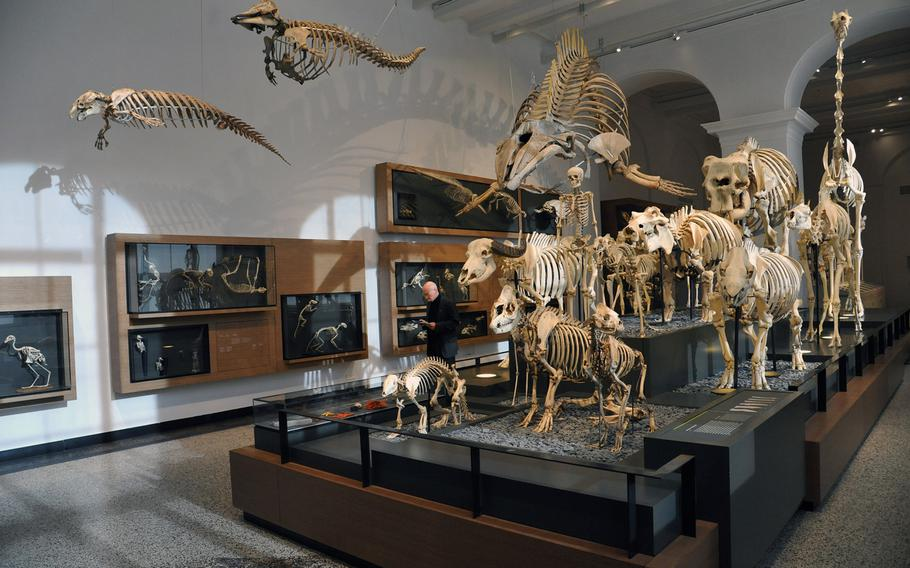 Skeletons of various birds, fish and mammals are on display in the zoology section of the Hesse State Museum in Darmstadt, Germany.